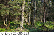 Dense forest with old alder tree in foreground,Bialowieza Forest,Poland,Europe. Стоковое фото, фотограф Aleksander Bolbot / easy Fotostock / Фотобанк Лори