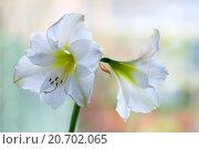 Купить «amaryllis hippeastrum», фото № 20702065, снято 31 мая 2020 г. (c) easy Fotostock / Фотобанк Лори