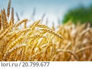 Купить «Золотые колоски зрелой пшеницы», фото № 20799677, снято 1 июля 2015 г. (c) Игорь Струков / Фотобанк Лори