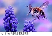 Andrena tibialis flying. Стоковое фото, фотограф F. Rauschenbach / age Fotostock / Фотобанк Лори