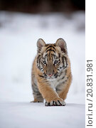 Купить «Siberian Tiger (Panthera tigris altaica) cub, walking on snow (captive)», фото № 20831981, снято 11 декабря 2017 г. (c) age Fotostock / Фотобанк Лори