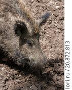Купить «Digging for Truffels (2)», фото № 20872813, снято 17 июня 2019 г. (c) PantherMedia / Фотобанк Лори
