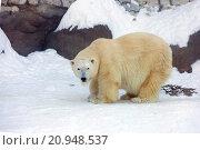 Купить «Белый медведь», фото № 20948537, снято 21 января 2016 г. (c) Галина Савина / Фотобанк Лори
