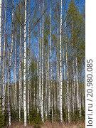 Купить «common birch tree trunks, Finland Europe.», фото № 20980085, снято 10 мая 2015 г. (c) age Fotostock / Фотобанк Лори