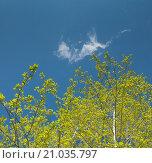 Березовые ветки с листьями на фоне неба. Стоковое фото, фотограф Юрий Александров / Фотобанк Лори