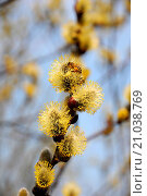Купить «Goat willow with bees», фото № 21038769, снято 14 октября 2019 г. (c) age Fotostock / Фотобанк Лори