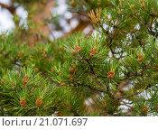 Сосновые ветви с шишками. Стоковое фото, фотограф Юрий Александров / Фотобанк Лори
