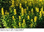 Купить «Вербейник обыкновенный (лат. Lysimachia vulgaris)», фото № 21122657, снято 28 июня 2015 г. (c) Сергей Трофименко / Фотобанк Лори