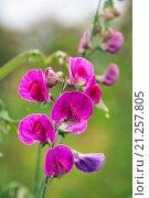 Купить «Lathyrus odoratus, горошек душистый», фото № 21257805, снято 15 сентября 2015 г. (c) Короленко Елена / Фотобанк Лори