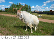 Купить «Большой белый козел угрожает большими рогами», фото № 21322053, снято 5 августа 2015 г. (c) Pukhov K / Фотобанк Лори