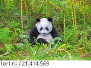 Купить «Asia, China, Sichuan, Research Base of Giant Panda Breeding or Chengdu Panda Base, Giant Panda Ailuropoda melanoleuca, captive,.», фото № 21414569, снято 22 июля 2018 г. (c) age Fotostock / Фотобанк Лори