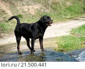 portrait of a purebred rottweiler in a river. Стоковое фото, фотограф cynoclub / easy Fotostock / Фотобанк Лори