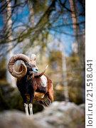 Купить «The mouflon (Ovis orientalis)», фото № 21518041, снято 13 апреля 2013 г. (c) easy Fotostock / Фотобанк Лори