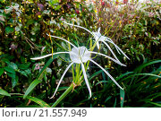 Купить «Beautiful white spider lily, Hymenocallis littoralis, with its distinctive long spindly delicate petals growing in a lush garden in Bali», фото № 21557949, снято 24 мая 2019 г. (c) easy Fotostock / Фотобанк Лори