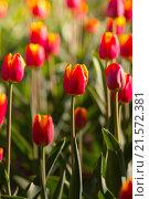Тюльпаны. Стоковое фото, фотограф Алексей Лобанов / Фотобанк Лори