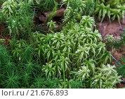 Купить «Зеленый мох сфагнум», фото № 21676893, снято 7 августа 2015 г. (c) Любовь Назарова / Фотобанк Лори
