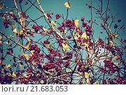 Купить «Ягоды рябины на фоне неба», фото № 21683053, снято 16 декабря 2017 г. (c) Зезелина Марина / Фотобанк Лори