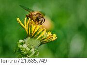 Пчела на желтом одуванчике. Стоковое фото, фотограф Alex Ryabis / Фотобанк Лори