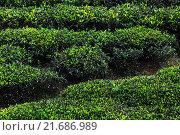 Купить «Чайная плантация», фото № 21686989, снято 28 января 2015 г. (c) Михаил Дударев / Фотобанк Лори
