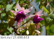 Купить «Многолетнее растение Фуксия (лат. Fuchsia)», эксклюзивное фото № 21690613, снято 6 августа 2015 г. (c) lana1501 / Фотобанк Лори