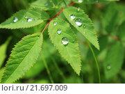 Капельки росы на листочках. Стоковое фото, фотограф Аня Шумкова / Фотобанк Лори