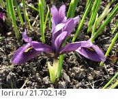 Купить «Иридодиктиум сетчатый - Iridodictium reticulatum», фото № 21702149, снято 11 мая 2015 г. (c) Беляева Наталья / Фотобанк Лори