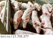 Купить «Unna, Germany, conventional pigsty», фото № 21705377, снято 25 октября 2014 г. (c) Caro Photoagency / Фотобанк Лори
