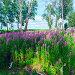 Купить «Поляна с цветущим Иван-чаем возле берёз», фото № 21726293, снято 2 июля 2015 г. (c) Алексей Маринченко / Фотобанк Лори