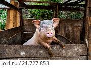 Купить «Свинья стоит в загоне на задних лапах, передними опираясь на доску ограждения, лапы животного испачканы в навозе», фото № 21727853, снято 11 апреля 2010 г. (c) Владимир Григорьев / Фотобанк Лори