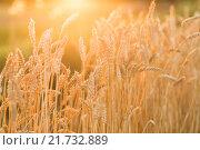 Купить «Пшеничные колоски на поле на закате», фото № 21732889, снято 17 августа 2015 г. (c) Инга Макеева / Фотобанк Лори
