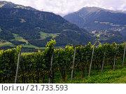 Виноградник в долине Rhine Valley (Graubünden, Швейцария) (2014 год). Стоковое фото, фотограф Людмила Герасимова / Фотобанк Лори