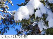 Ветка сосны под снегом. Стоковое фото, фотограф Светлана Швенк / Фотобанк Лори