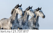 Групповой портрет трех серых лошадей. Стоковое фото, фотограф Абрамова Ксения / Фотобанк Лори