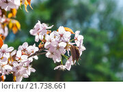 Купить «Ветка сакуры», фото № 21738661, снято 30 апреля 2012 г. (c) Алёшина Оксана / Фотобанк Лори
