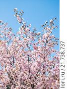 Купить «Сакура», фото № 21738737, снято 30 апреля 2012 г. (c) Алёшина Оксана / Фотобанк Лори