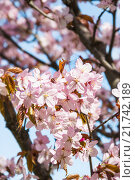 Купить «Сакура», фото № 21742189, снято 30 апреля 2012 г. (c) Алёшина Оксана / Фотобанк Лори