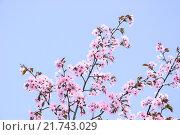 Купить «Цветущая сакура», фото № 21743029, снято 30 апреля 2012 г. (c) Алёшина Оксана / Фотобанк Лори