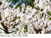 Купить «Цветущий абрикос», фото № 21743109, снято 30 апреля 2012 г. (c) Алёшина Оксана / Фотобанк Лори