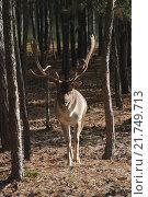 Купить «A deer standing between trees in the forest Neuruppin, Germany», фото № 21749713, снято 20 октября 2007 г. (c) Caro Photoagency / Фотобанк Лори