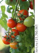 Купить «Гроздь созревающих помидоров», фото № 21760961, снято 1 августа 2015 г. (c) Георгий Марков / Фотобанк Лори