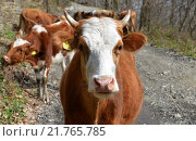 Купить «Клейменые коровы на грунтовой дороге», эксклюзивное фото № 21765785, снято 10 марта 2014 г. (c) Анна Мартынова / Фотобанк Лори