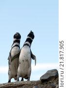 Купить «Колония магеллановых пингвинов на острове Магдалены. Чили», фото № 21817905, снято 21 ноября 2014 г. (c) Free Wind / Фотобанк Лори