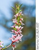 Цветы степного миндаля (Prunus tenella) Стоковое фото, фотограф Алёшина Оксана / Фотобанк Лори