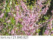 Цветы миндаля степного (Prunus tenella) Стоковое фото, фотограф Алёшина Оксана / Фотобанк Лори