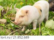 Купить «Два поросенка на траве», фото № 21852689, снято 9 августа 2015 г. (c) Елена Абдураманова / Фотобанк Лори