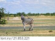 Зебра в природном заповеднике Этоша, Намибия (2016 год). Стоковое фото, фотограф Знаменский Олег / Фотобанк Лори