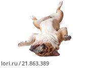 Купить «Красивый английский бульдог лежит на спине на белом фоне», фото № 21863389, снято 14 февраля 2016 г. (c) Алексей Кузнецов / Фотобанк Лори