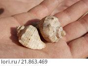 Морские ракушки на ладони. Стоковое фото, фотограф Женя Ивина / Фотобанк Лори
