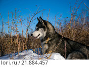 Сибирский хаски на природе. Стоковое фото, фотограф Максим Колесов / Фотобанк Лори