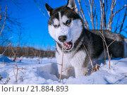 Сибирский хаски в снегу. Стоковое фото, фотограф Максим Колесов / Фотобанк Лори